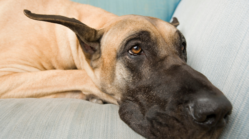 Insure The Health Of Your Great Dane